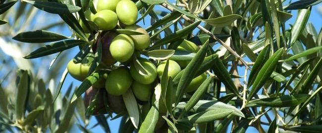 Domowe SPA – oliwa z oliwek