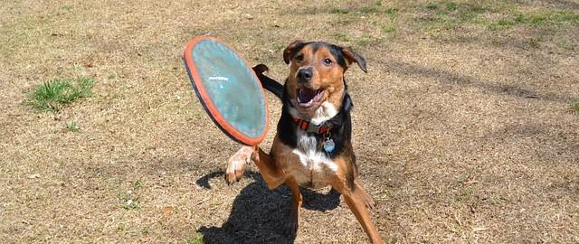 Latający pies, czyli moje spacery z frisbee i Askanem
