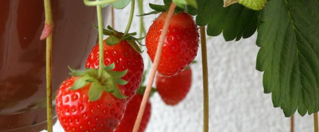 Lody truskawkowe z musem brzoskwiniowym