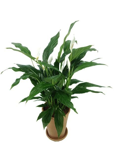 spathiphyllum-811383_640