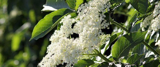 Kwiaty czarnego bzu-lekarstwo, kosmetyk i przysmak kulinarny