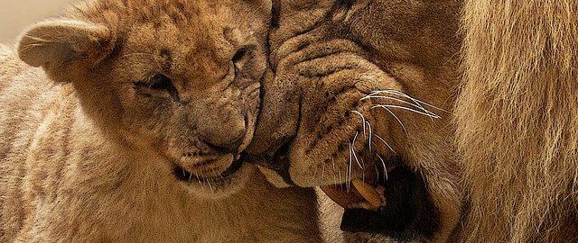 Nie drażnij lwa – tuż przed porodem…