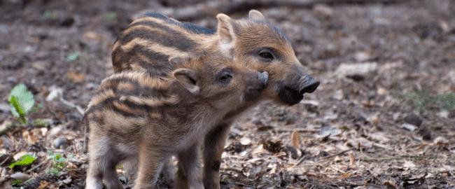 Leśne strachy. Co robić, kiedy spotkamy w lesie niebezpieczne zwierzę?