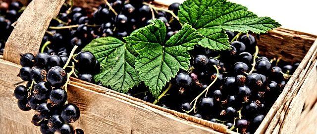 Czarna porzeczka – niepozorna bomba witaminowa