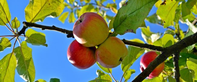 Zapach jabłek