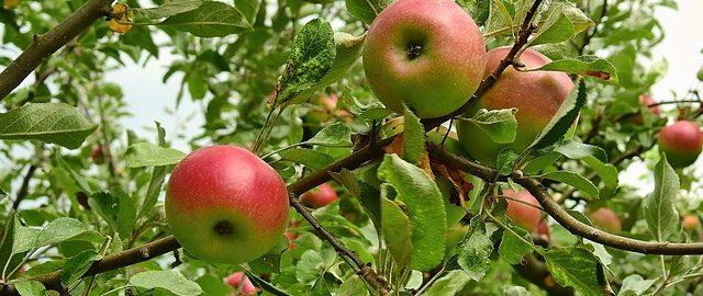 Jedz jabłka, zamiast chodzić po lekarzach