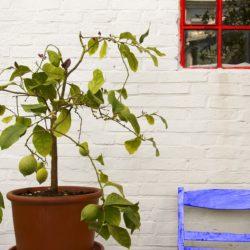 Cytrusy w domu i na balkonie. Jak je uprawiać?