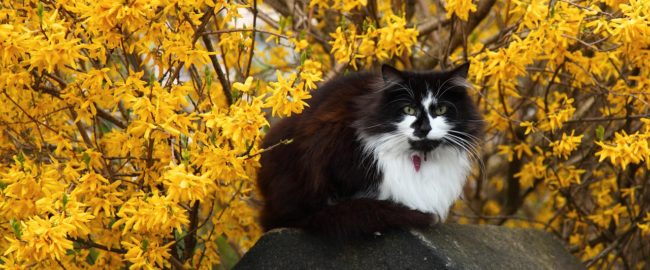 Forsycja – słoneczny krzew. Jak kwiaty forsycji wpływają na zdrowie?