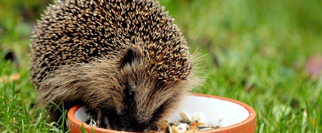Czy dokarmiać jeże i w jaki sposób pomóc im przetrwać zimę?